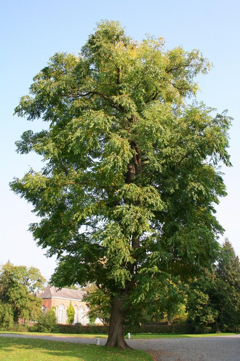 Gymnocladus dioicus, 'Kentucky Coffee Tree'