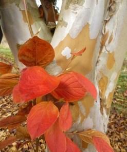 Stewartia pseudocamellia, 'Japanese Stewartia'