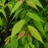Zelkova japonica, 'Japanese Zelkova'