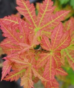 Acer pseudosieboldianum, 'Korean Maple'