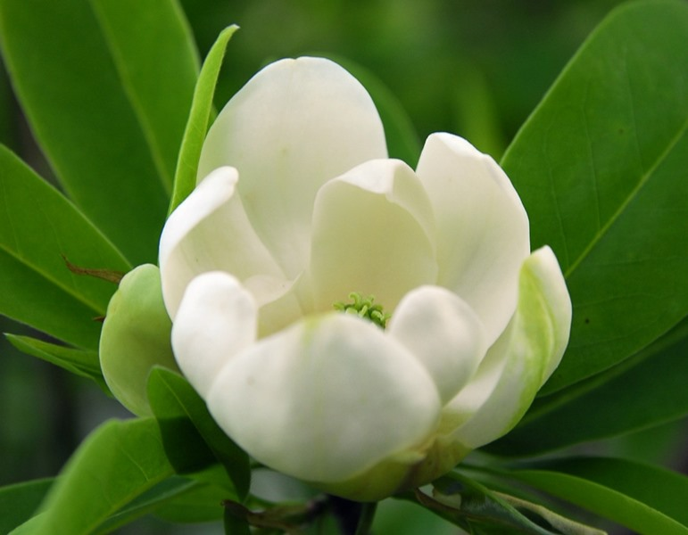 Magnolia virginiana, 'Henry Hicks'