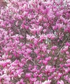 magnolia_ann