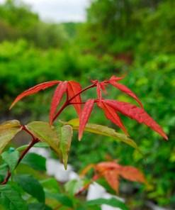 Acer mandshuricum, 'Manchurian Maple'