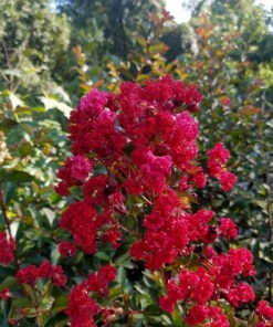 Lagerstroemia Crape Myrtle, 'Red Rocket'