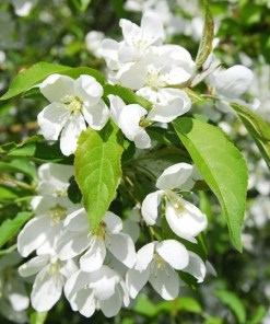 Malus sargentii 'Roselow', 'White Flowering Crabapple'