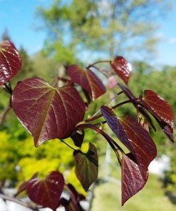 Cercis canadensis 'Ruby Falls Redbud'