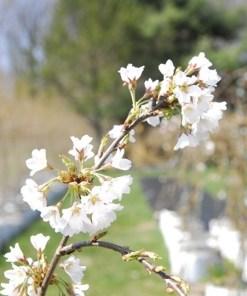 Prunus x yodensis 'Shidare Cherry'