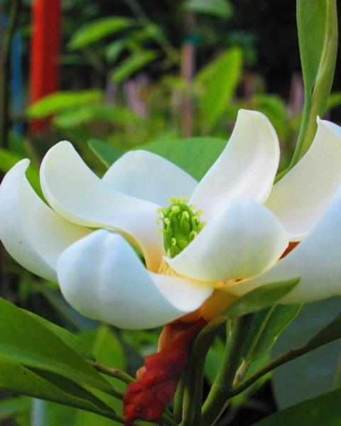 Magnolia virginiana, 'Moonglow'