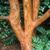 Stewartia monadelpha, 'Tall Stewartia'