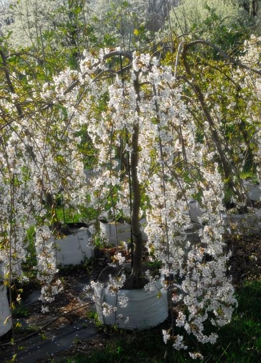 Prunus shidare, Weeping Yoshino Cherry