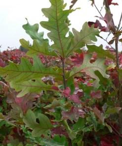 Quercus alba, 'White Oak'