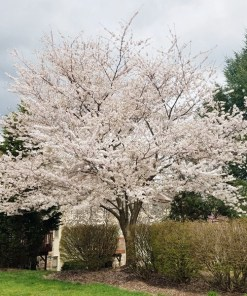 Prunus x yedoensis, 'Yoshino Cherry'
