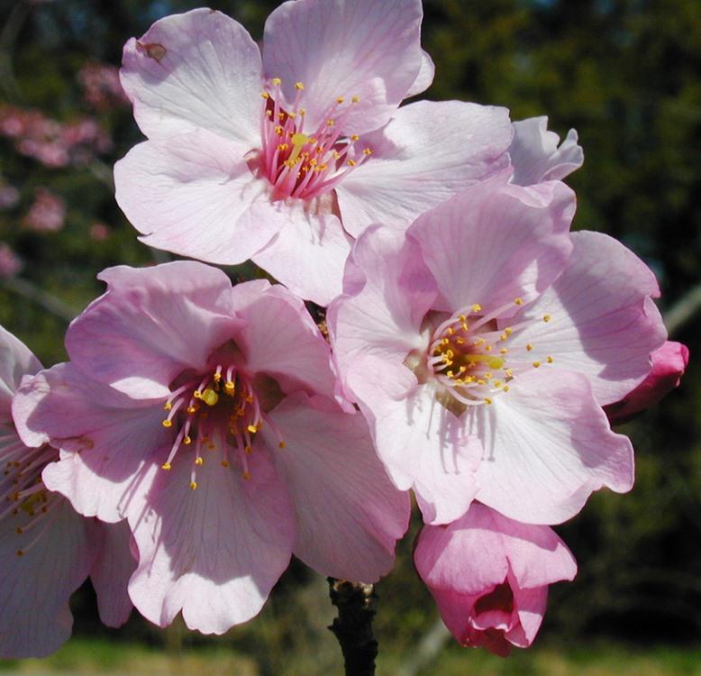 Prunus, Helen Taft Cherry Flowers