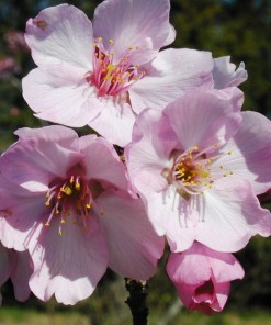 Prunus, Helen Taft Cherry Flowers