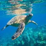Havsköldpaddor kommer tillbaka runtom i världen