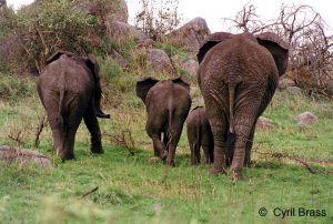 Elephants-Walking-Away-01.JPG
