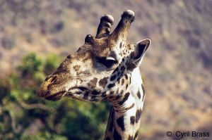 Giraffe-Head-Shot.jpg