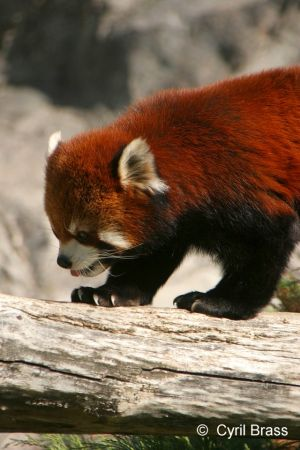 Red-Panda-087.jpg