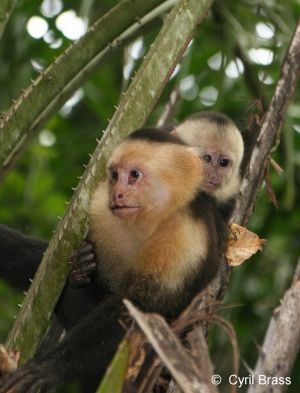 White-Faced-Capuchin-Moneky-with-Baby465.jpg