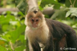 White-Faced-Capuchin-Monkey-017.jpg