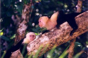 White-Faced-Capuchin-Monkeys-210.JPG