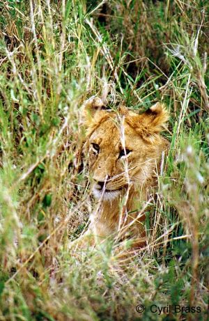 Young-Lion-Hiding-in-Grass.jpg