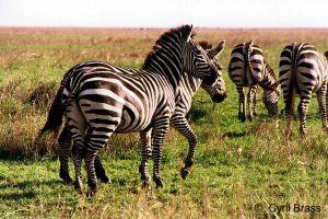Zebras-06.jpg