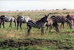 Zebras-07.jpg