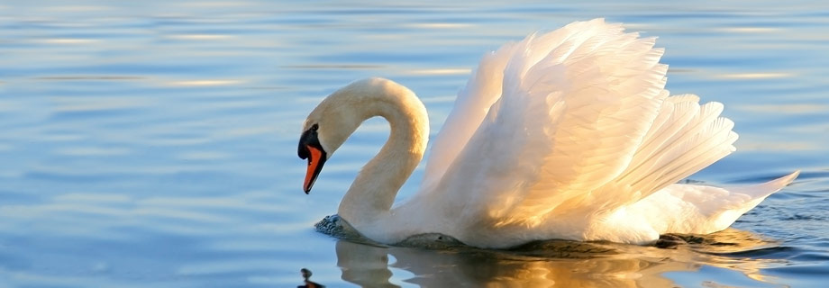 Image result for images swans
