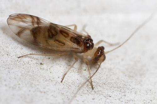 Graphopsocus cruciatus, a barkfly