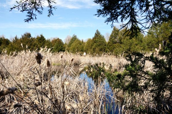 Stock pond and cattails