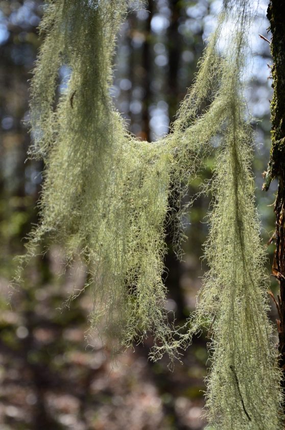 Old man's beard on the trees at the edge of the bluff