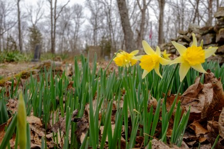 Spring Daffodils - Carter Family Cemetery - Busiek Red / Yellow Trail.