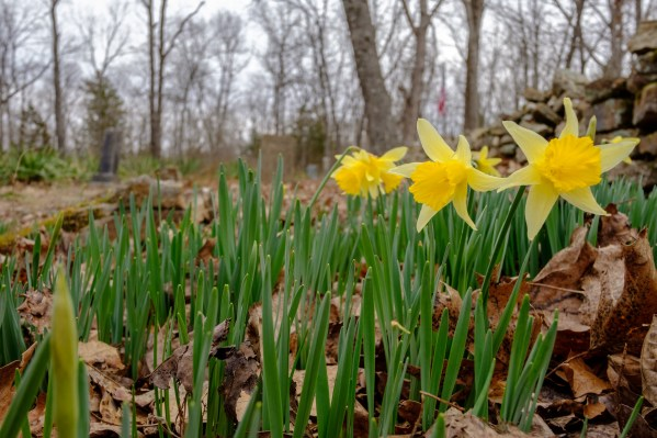 Spring Daffodils - Carter Family Cemetery - Busiek Red / Yellow Trail. Copyright © 2018 Gary Allman, all rights reserved.