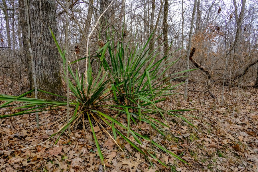 Yucca plants in the wilderness are a sure sign that there was a home or cemetery near-by.