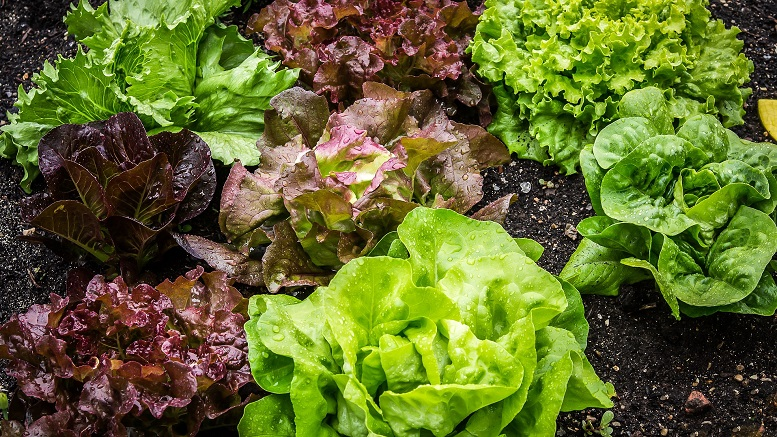 22 people sickened by E. coli in romaine lettuce, Canadian officials say