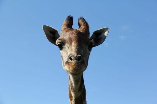 Giraffe Süd Afrika
