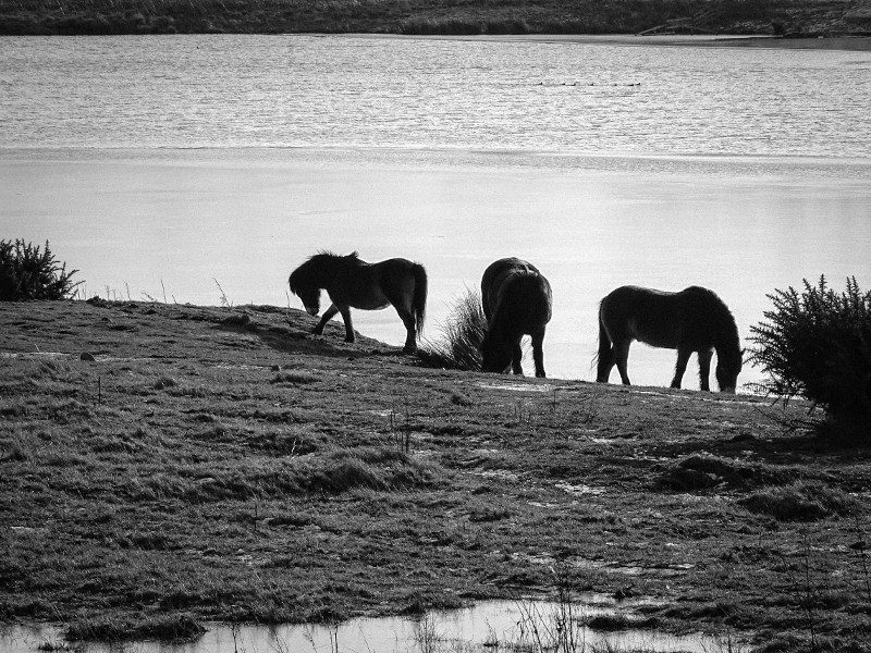 Exmoor ponies at Branton Nature Conservation Area in the Breamish Valley