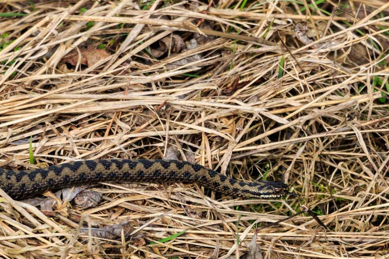adders on sunny side (3P8A6411) stretched