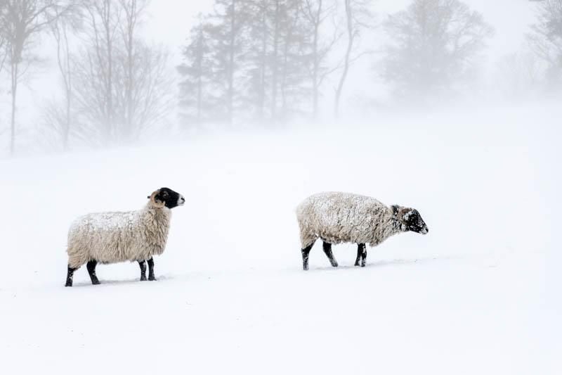 two sheep in snow at Powburn