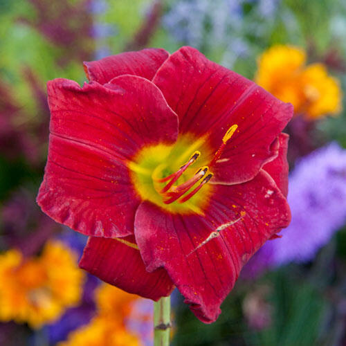 Funny Valentine Reblooming Daylily Brecks Premium Bulbs