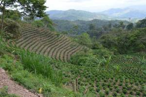 Coffee farm AFS cluster business driven Nicaragua