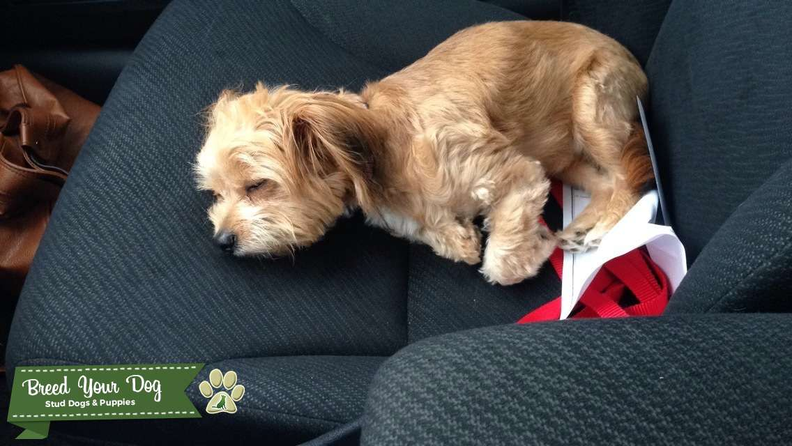 Stud Dog Long Haired Chihuahua Toy Poodle Mix Breed