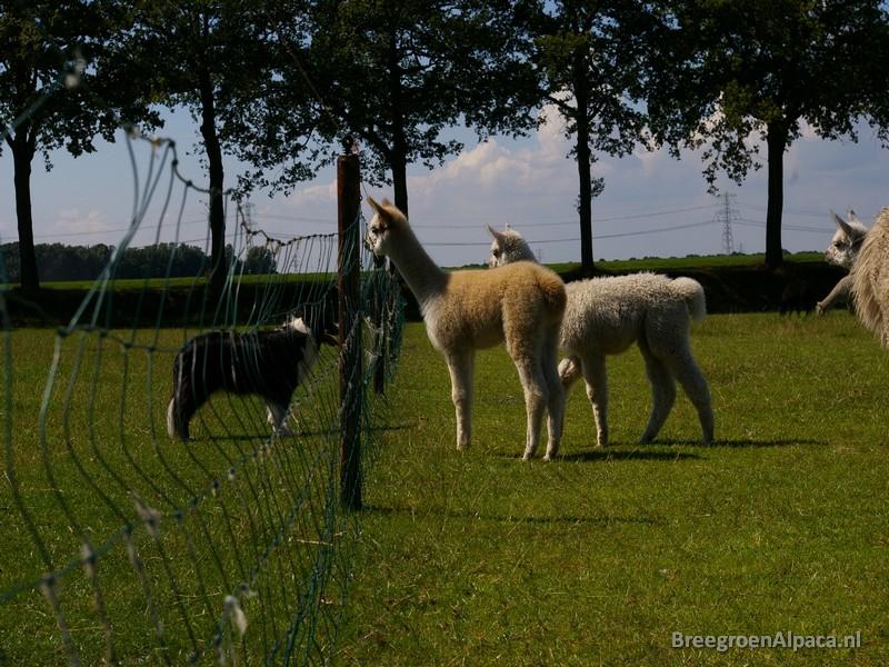 'Het is maar goed dat ze honden achter een hek opsluiten...'