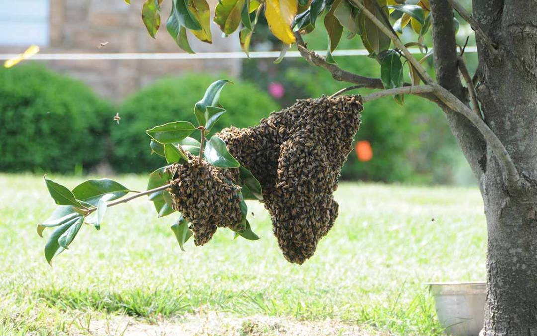 Bees take up temporary residence in a tree at Brehm