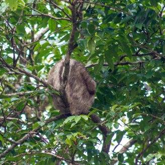 Costa Rica - Tortuguero Nationalpark - Faultier