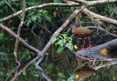 Costa Rica - Tortuguero Nationalpark Gray-necked Wood-Rail