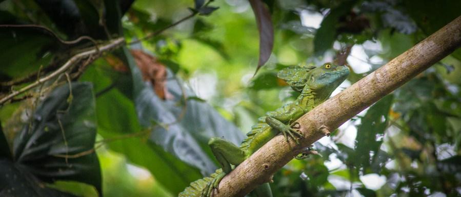 Costa Rica - Tortuguero Nationalpark Greta Pasemann Stirnlappenbasilisk