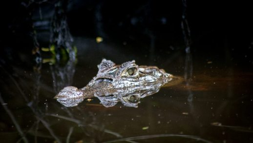Costa Rica - Tortuguero Nationalpark - Kaiman wartet