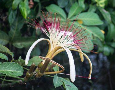 Costa Rica - Tortuguero Nationalpark - Regenwaldpflanze)